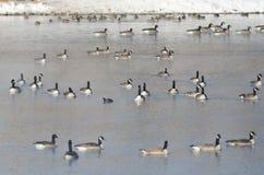Гусыни Канады отдыхая на озере зим Стоковое Изображение RF