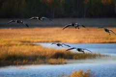 Гусыни Канады приземляясь над водой Стоковое фото RF
