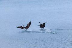 2 гусыни Канады приземляясь на воду Стоковое Фото