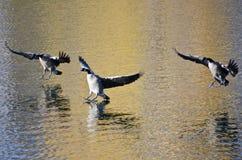 3 гусыни Канады приземляясь на золотую воду Стоковые Изображения RF