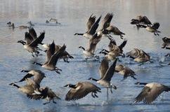 Гусыни Канады принимая к полету от озера зим Стоковая Фотография RF