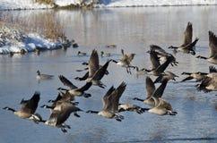 Гусыни Канады принимая к полету от озера зим Стоковая Фотография