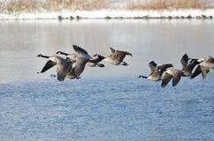 Гусыни Канады принимая к полету от озера зим Стоковое фото RF