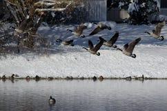 Гусыни Канады принимая к полету от озера зим Стоковое Фото