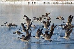 Гусыни Канады принимая к полету от озера зим Стоковые Изображения RF