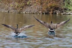 2 гусыни Канады приходя внутри для посадки на воде Стоковые Изображения RF