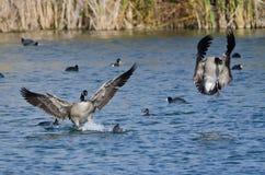 Гусыни Канады приходя внутри для посадки на воде Стоковая Фотография