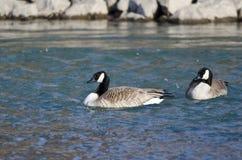 2 гусыни Канады плавая в голубом реке Стоковые Изображения RF