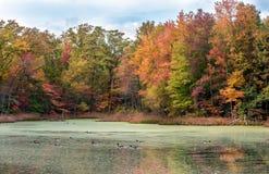 Гусыни Канады плавая в озере с цветами осени Стоковое фото RF