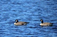 Гусыни Канады плавая в озере Стоковые Изображения