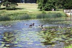 Гусыни Канады плавая в реке, саде ландшафта Stowe, Англии Стоковые Фото