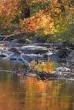 Гусыни Канады плавая между отражениями листопада, кантоном, жуликом стоковые изображения rf