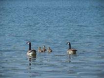 2 гусыни Канады плавая с 3 гусятами на озере Стоковые Изображения