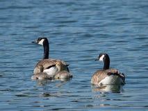 2 гусыни Канады плавая с 2 гусятами на озере Стоковые Изображения RF
