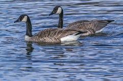 Гусыни Канады плавая Стоковая Фотография RF