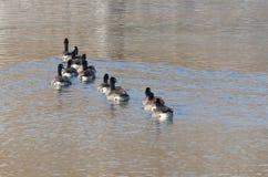 Гусыни Канады смотря, что выпрямить пока плавающ на озере Стоковое Изображение