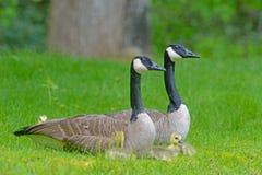Гусыни Канады спаривают с младенцами в зеленой траве Стоковая Фотография RF