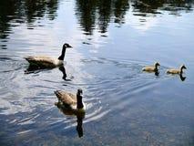 2 гусыни Канады с 2 гусятами на воде Стоковое Изображение