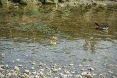 Гусыни Канады с гусятами 4 Стоковые Изображения