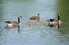 Гусыни Канады с утками кряквы на пруде Стоковые Фото