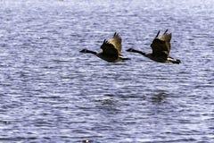 гусыни 2 Канады Стоковое Фото