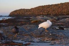 Гусыни келпа в Фолклендских островах Стоковые Изображения RF