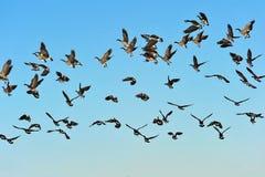 гусыни летания стаи Стоковое Изображение RF
