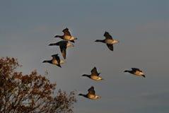 гусыни летания brant Стоковое Фото