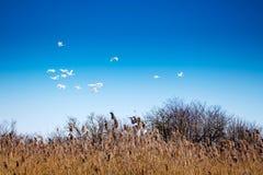 Гусыни летают в голубое небо Возвращение птиц от теплых краев Ландшафт весны с birds_ летания стоковые изображения