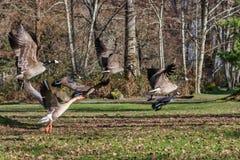 Гусыни летая над зимой greenry 1 Стоковые Фотографии RF