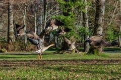 Гусыни летая над зимой greenry 2 Стоковое фото RF