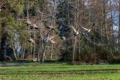 Гусыни летая над зимой greenry 3 Стоковое фото RF