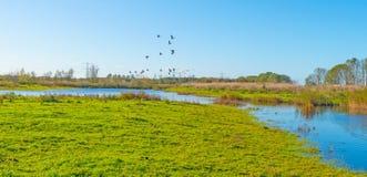 Гусыни летая над озером в солнечном свете на падении Стоковые Изображения