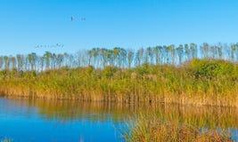 Гусыни летая над озером в солнечном свете на падении Стоковое Фото