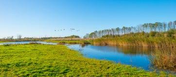 Гусыни летая над озером в солнечном свете на падении Стоковая Фотография