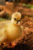 гусыни младенца милые Стоковая Фотография