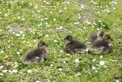 4 гусыни младенца сидя на зеленой траве Стоковое Изображение