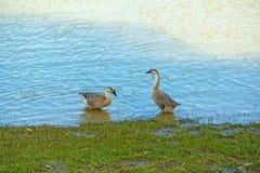 Гусыни находят еда на реке Стоковые Фотографии RF