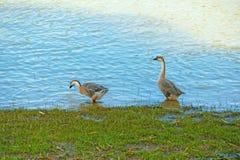 Гусыни находят еда на реке Стоковые Фото