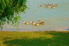 Гусыни находят еда на реке Стоковое Фото