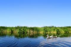 Гусыни на ландшафте реки Стоковое фото RF