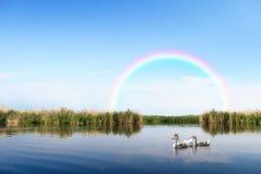 Гусыни на ландшафте реки Стоковые Изображения RF