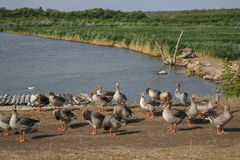 Гусыни на береге Стоковое Фото