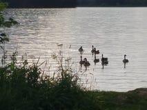 Гусыни на воде Стоковая Фотография