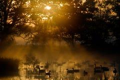 Гусыни на воде на восходе солнца Стоковое Изображение