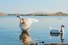 2 гусыни на воде Стоковое Фото