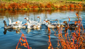 Гусыни на воде Стоковое фото RF