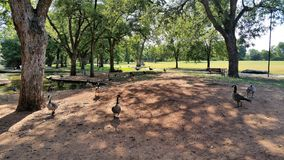 Гусыни на грязи Стоковое Изображение RF