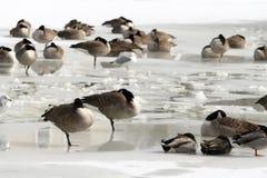 Гусыни на замороженном пруде Стоковое Изображение RF
