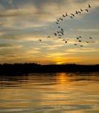 Гусыни на заходе солнца на озере Стоковые Фотографии RF